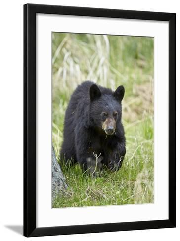 Black Bear (Ursus Americanus), Second Year Cub, Yellowstone National Park, Wyoming, U.S.A.-James Hager-Framed Art Print