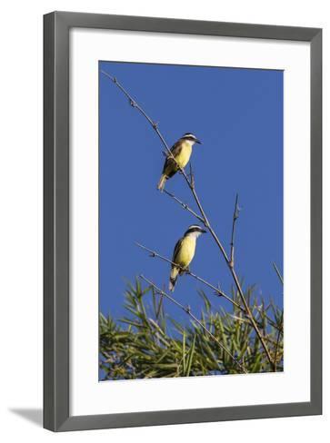 Great Kiskadee Pair (Pitangus Sulphuratus), Iguazu Falls National Park, Misiones, Argentina-Michael Nolan-Framed Art Print