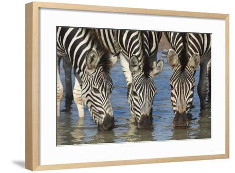 Burchell's Zebra (Plains Zebra) (Equus Burchelli) Drinking, Kwazulu-Natal, Africa-Ann & Steve Toon-Framed Art Print