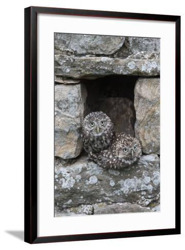 Little Owls (Athene Noctua) Perched in Stone Barn, Captive, United Kingdom, Europe-Ann & Steve Toon-Framed Art Print