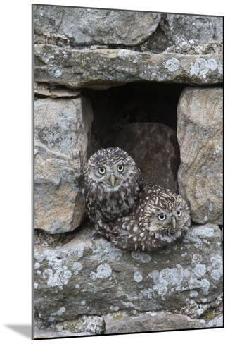Little Owls (Athene Noctua) Perched in Stone Barn, Captive, United Kingdom, Europe-Ann & Steve Toon-Mounted Photographic Print