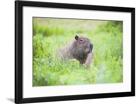 Capybara (Hydrochoerus Hydrochaeris), a Marshland Area in Corrientes Province, Argentina-Matthew Williams-Ellis-Framed Art Print