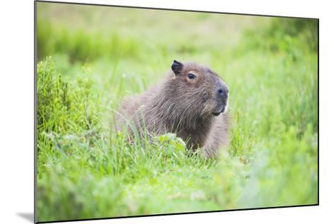 Capybara (Hydrochoerus Hydrochaeris), a Marshland Area in Corrientes Province, Argentina-Matthew Williams-Ellis-Mounted Photographic Print