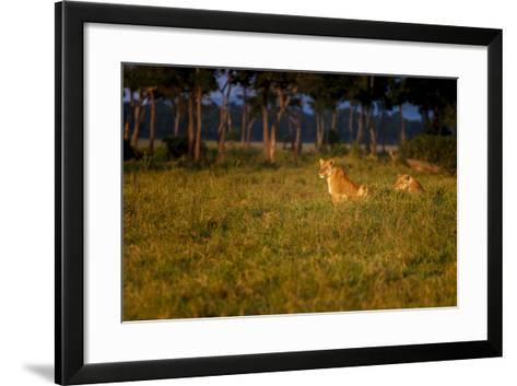 Lions (Panthera Leo) Resting at Sunrise, Masai Mara, Kenya, East Africa, Africa-Andrew Sproule-Framed Art Print