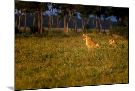 Lions (Panthera Leo) Resting at Sunrise, Masai Mara, Kenya, East Africa, Africa-Andrew Sproule-Mounted Photographic Print