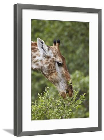 Cape Giraffe (Giraffa Camelopardalis Giraffa) Feeding, Kruger National Park, South Africa, Africa-James Hager-Framed Art Print