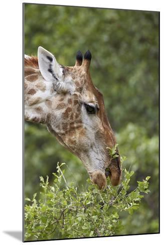 Cape Giraffe (Giraffa Camelopardalis Giraffa) Feeding, Kruger National Park, South Africa, Africa-James Hager-Mounted Photographic Print