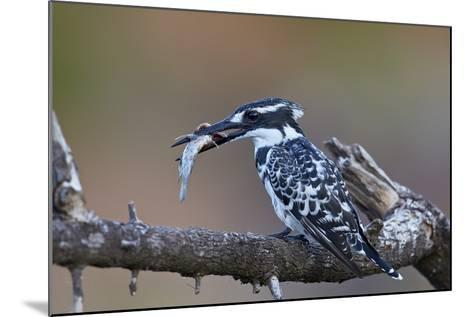 Pied Kingfisher (Ceryle Rudis) with a Fish, Kruger National Park, South Africa, Africa-James Hager-Mounted Photographic Print