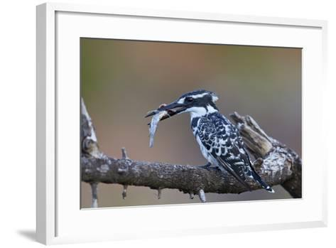 Pied Kingfisher (Ceryle Rudis) with a Fish, Kruger National Park, South Africa, Africa-James Hager-Framed Art Print