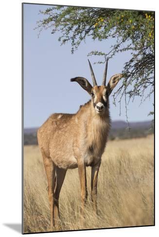 Roan Antelope (Hippotragus Equinus), Mokala National Park, South Africa, Africa-Ann & Steve Toon-Mounted Photographic Print