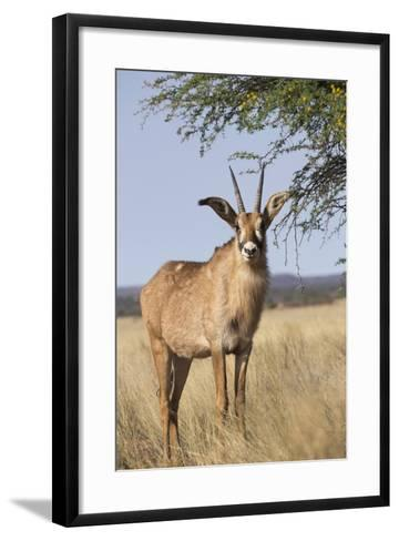 Roan Antelope (Hippotragus Equinus), Mokala National Park, South Africa, Africa-Ann & Steve Toon-Framed Art Print