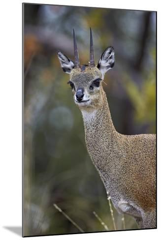 Klipspringer (Oreotragus Oreotragus) Male, Kruger National Park, South Africa, Africa-James Hager-Mounted Photographic Print
