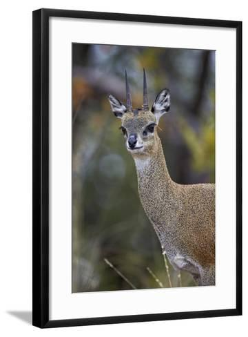 Klipspringer (Oreotragus Oreotragus) Male, Kruger National Park, South Africa, Africa-James Hager-Framed Art Print