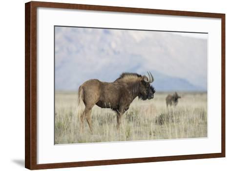 Black Wildebeest (Connochaetes Gnou), Mountain Zebra National Park, South Africa, Africa-Ann & Steve Toon-Framed Art Print