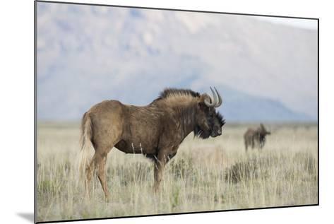 Black Wildebeest (Connochaetes Gnou), Mountain Zebra National Park, South Africa, Africa-Ann & Steve Toon-Mounted Photographic Print