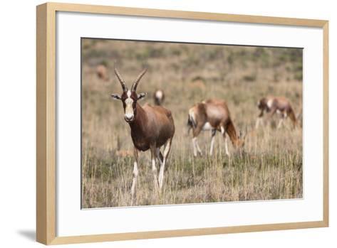 Blesbok (Damaliscus Dorcas Phillipsi), Mountain Zebra National Park, South Africa, Africa-Ann & Steve Toon-Framed Art Print