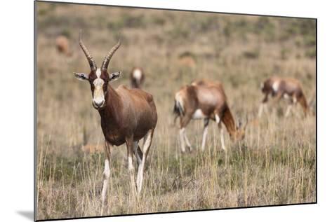 Blesbok (Damaliscus Dorcas Phillipsi), Mountain Zebra National Park, South Africa, Africa-Ann & Steve Toon-Mounted Photographic Print