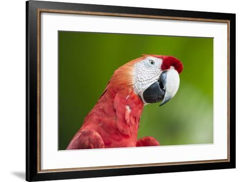 Scarlet Macaw (Ara Macao), Amazon, Brazil, South America-G&M Therin-Weise-Framed Art Print