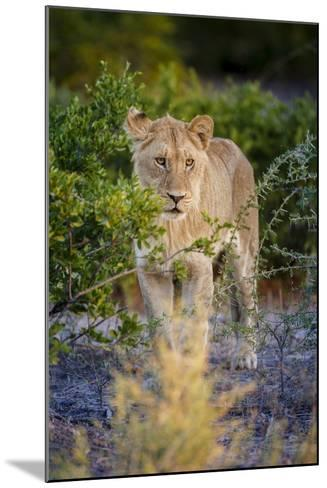 Male Lion (Panthera Leo) Juvenile, Moremi, Okavango Delta, Botswana, Africa-Andrew Sproule-Mounted Photographic Print
