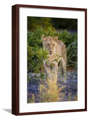 Male Lion (Panthera Leo) Juvenile, Moremi, Okavango Delta, Botswana, Africa-Andrew Sproule-Framed Art Print