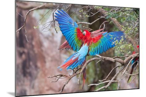 Playful Red-And-Green Macaws (Ara Chloropterus), Buraco Das Araras, Mato Grosso Do Sul, Brazil-G&M Therin-Weise-Mounted Photographic Print