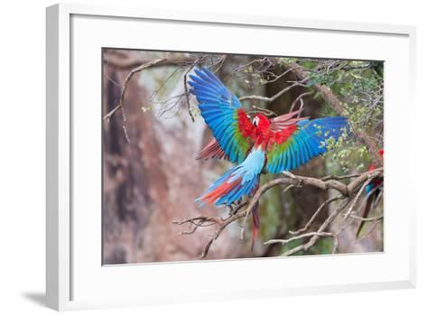 Playful Red-And-Green Macaws (Ara Chloropterus), Buraco Das Araras, Mato Grosso Do Sul, Brazil-G&M Therin-Weise-Framed Art Print