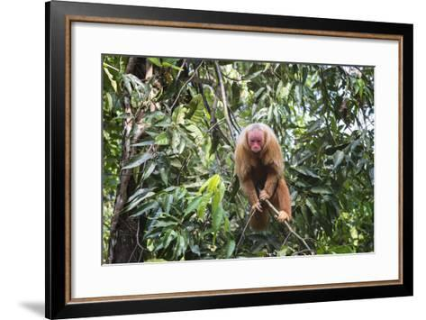 Red Bald-Headed Uakari Monkey also known as British Monkey (Cacajao Calvus Rubicundus), Brazil-G&M Therin-Weise-Framed Art Print