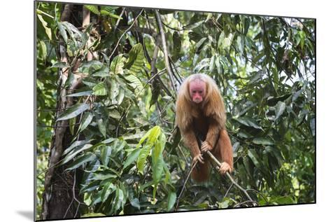 Red Bald-Headed Uakari Monkey also known as British Monkey (Cacajao Calvus Rubicundus), Brazil-G&M Therin-Weise-Mounted Photographic Print