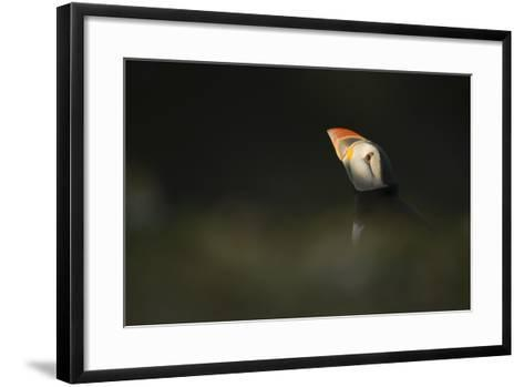 Atlantic Puffin, (Fratercula Arctica), Skomer Island, Wales, United Kingdom, Europe-Kevin Morgans-Framed Art Print