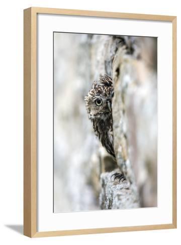 Little Owl (Athene Noctua) Perched in Stone Barn, Captive, United Kingdom, Europe-Ann & Steve Toon-Framed Art Print
