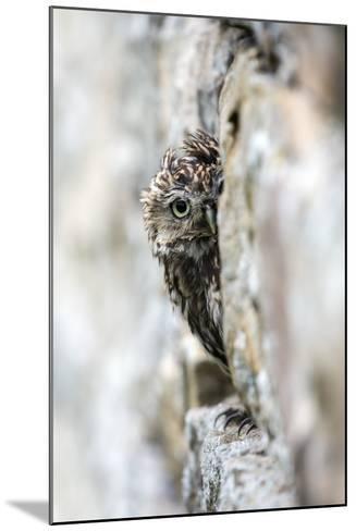 Little Owl (Athene Noctua) Perched in Stone Barn, Captive, United Kingdom, Europe-Ann & Steve Toon-Mounted Photographic Print