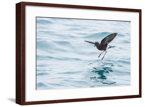 Adult Wilson's Storm Petrel (Oceanites Oceanicus), South Georgia, Polar Regions-Michael Nolan-Framed Art Print