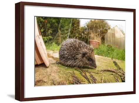 Hedgehog (Erinaceinae), Durham, England, United Kingom, Europe-David Gibbon-Framed Art Print