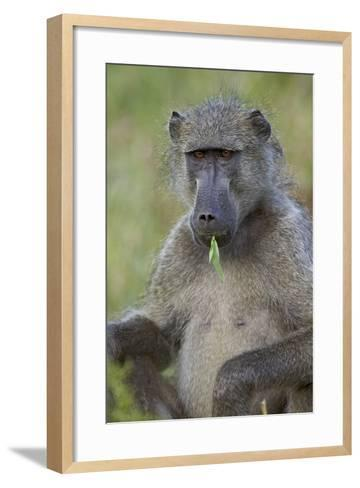 Chacma Baboon (Papio Ursinus) Eating, Kruger National Park, South Africa, Africa-James Hager-Framed Art Print