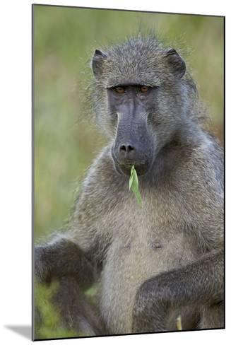 Chacma Baboon (Papio Ursinus) Eating, Kruger National Park, South Africa, Africa-James Hager-Mounted Photographic Print