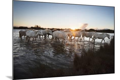 Wild White Horses at Sunset, Camargue, France, Europe-Janette Hill-Mounted Photographic Print