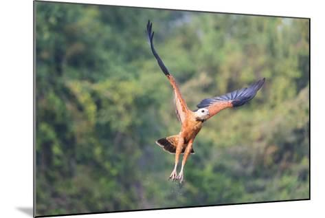 Black-Collared Hawk (Busarellus Nigricollis) in Flight, Pantanal, Mato Grosso, Brazil-G&M Therin-Weise-Mounted Photographic Print