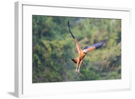Black-Collared Hawk (Busarellus Nigricollis) in Flight, Pantanal, Mato Grosso, Brazil-G&M Therin-Weise-Framed Art Print