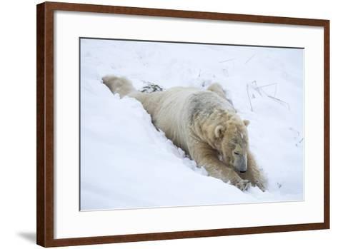 Polar Bear (Ursus Maritimus) Male, Captive, Highland Wildlife Park, Kingussie, Scotland, U.K.-Ann & Steve Toon-Framed Art Print