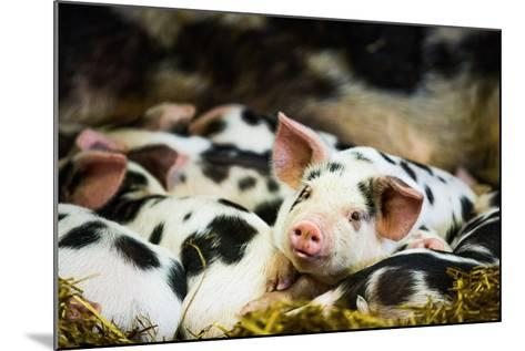 Piglets in Gloucestershire, England, United Kingdom, Europe-John Alexander-Mounted Photographic Print
