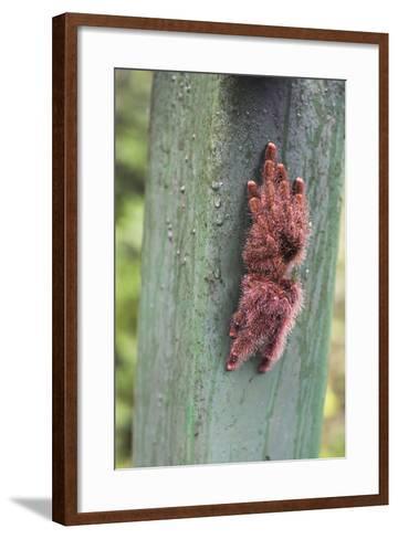 Tarantula, Amazon Rainforest, Coca, Ecuador, South America-Matthew Williams-Ellis-Framed Art Print
