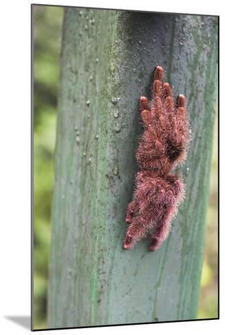 Tarantula, Amazon Rainforest, Coca, Ecuador, South America-Matthew Williams-Ellis-Mounted Photographic Print