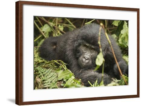 Mountain Gorilla, Bwindi Impenetrable National Park, Uganda, Africa-Janette Hill-Framed Art Print