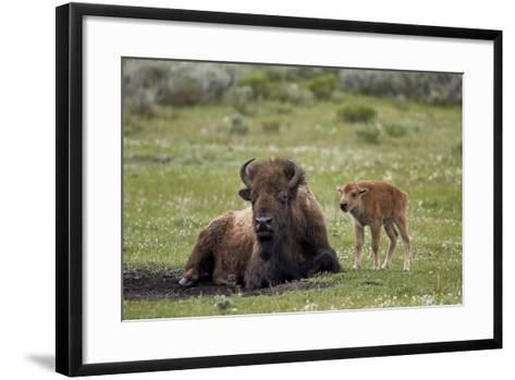 Bison (Bison Bison) Cow and Calf, Yellowstone National Park, Wyoming, United States of America-James Hager-Framed Art Print