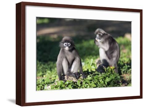 Dusky Langur Monkey (Trachypithecus Obscurus), Prachuap Kiri Khan, Thailand, Southeast Asia, Asia-Christian Kober-Framed Art Print