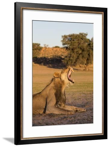 Male Lion (Panthera Leo) Yawning, Kgalagadi Transfrontier Park, Northern Cape, South Africa, Africa-Ann & Steve Toon-Framed Art Print