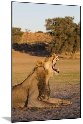 Male Lion (Panthera Leo) Yawning, Kgalagadi Transfrontier Park, Northern Cape, South Africa, Africa-Ann & Steve Toon-Mounted Photographic Print