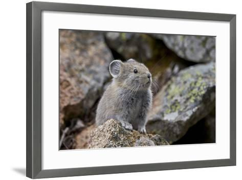 American Pika (Ochotona Princeps), Yellowstone National Park, Wyoming, United States of America-James Hager-Framed Art Print