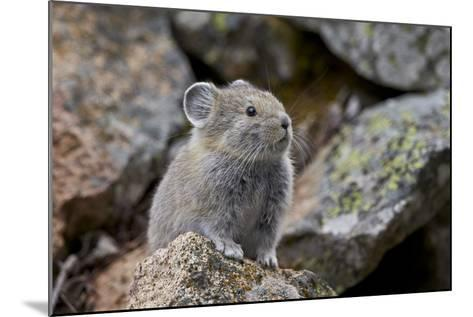 American Pika (Ochotona Princeps), Yellowstone National Park, Wyoming, United States of America-James Hager-Mounted Photographic Print