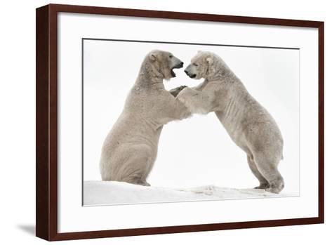 Polar Bear (Ursus Maritimus) Males Playfighting, Scotland-Ann & Steve Toon-Framed Art Print